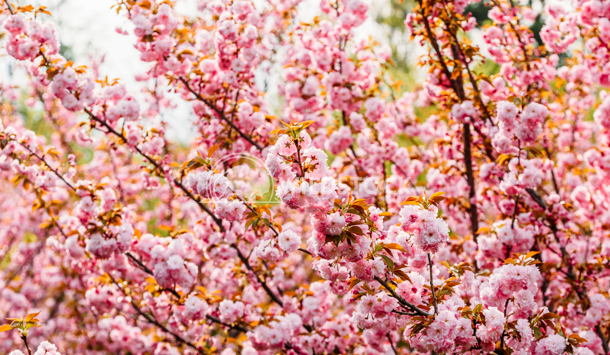 Pink Cherry Tree Flowers Blossom In Spring Radu Bercan Pink Sakura Cherry Tree Flowers Blossom In Spring