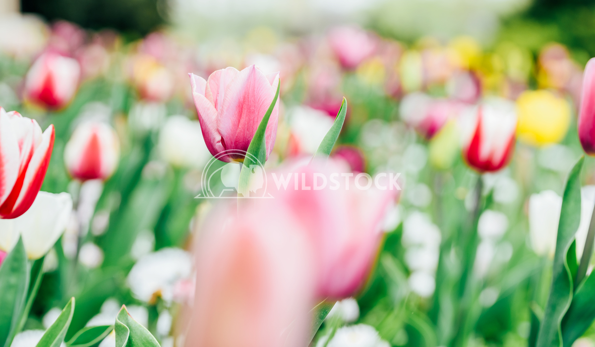 Colorful Tulip Flowers Close-Up In Netherlands Garden Radu Bercan Colorful Tulip Flowers Close-Up In Netherlands Garden