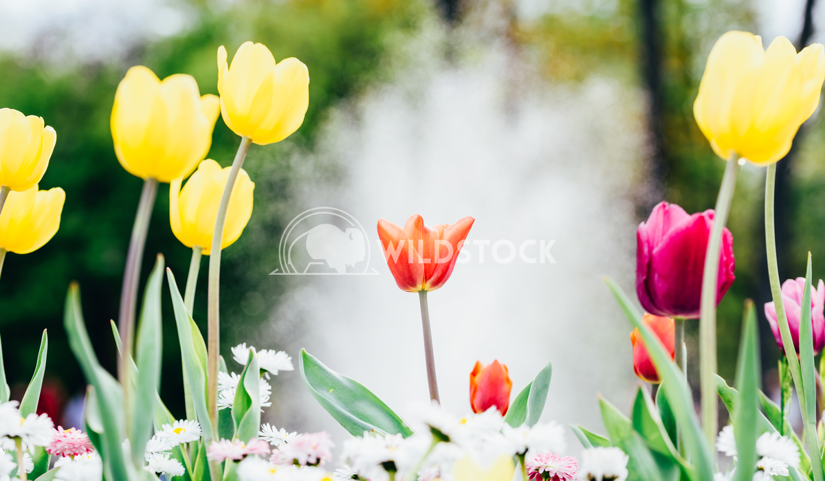 Colorful Tulip Flowers In Netherlands Garden Radu Bercan Colorful Tulip Flowers Close-Up In Netherlands Garden