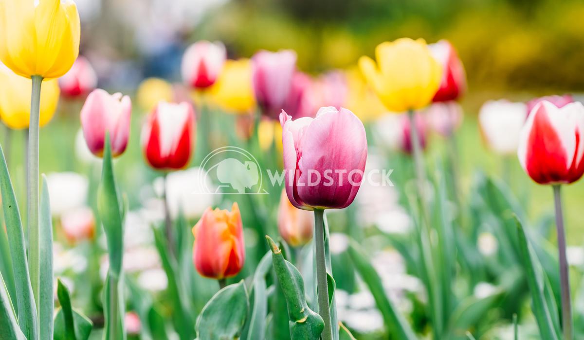 Colorful Tulip Flowers In Netherlands Radu Bercan Colorful Tulip Flowers Close-Up In Netherlands Garden