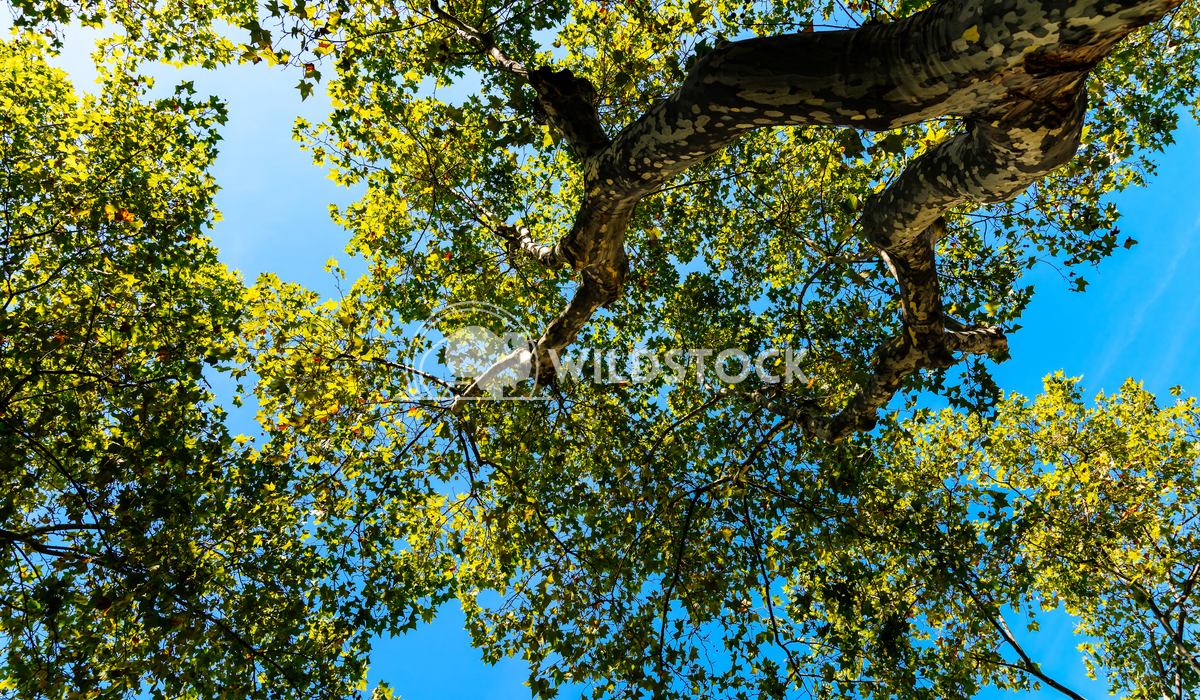 Under A Tree View Of Branches And Leaves On Summer Blue Sky Radu Bercan Under A Tree View Of Branches And Leaves On Summ