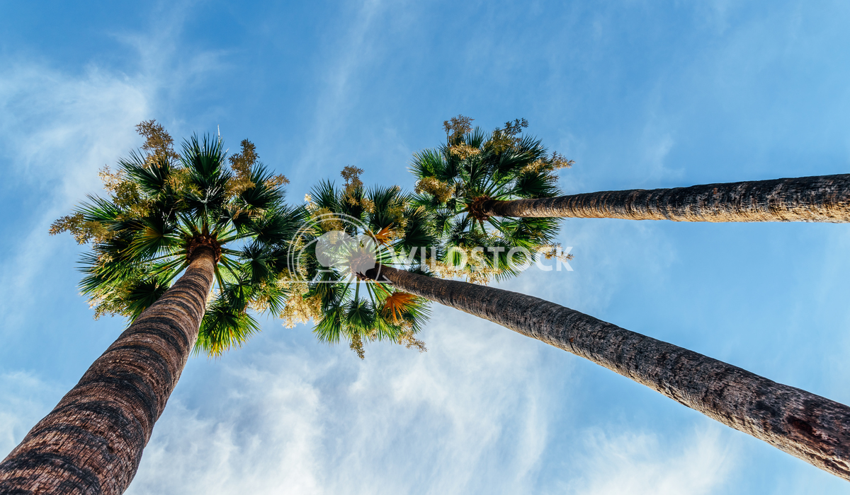 Green Palm Trees On Blue Sky Radu Bercan Green Palm Trees On Blue Sky