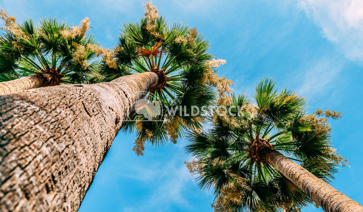 Green Palm Trees On Summer Blue Sky Radu Bercan Green Palm Trees On Blue Sky