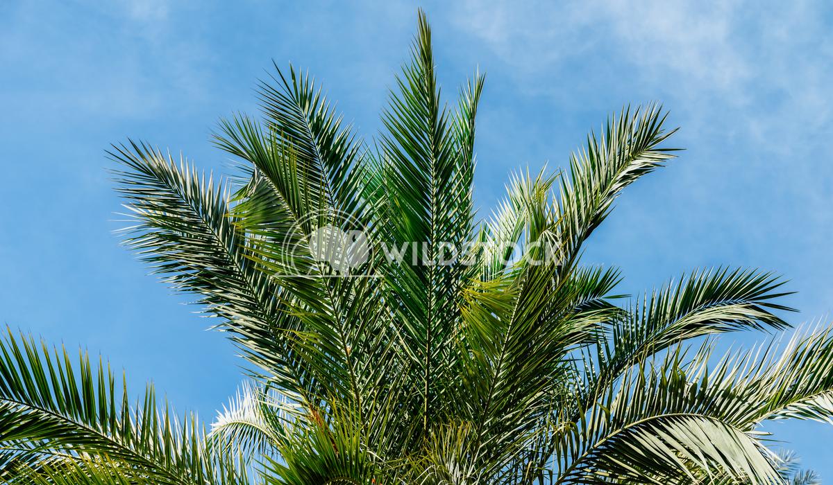 Green Palm Tree Leaves On Blue Sky Radu Bercan Green Palm Trees On Blue Sky