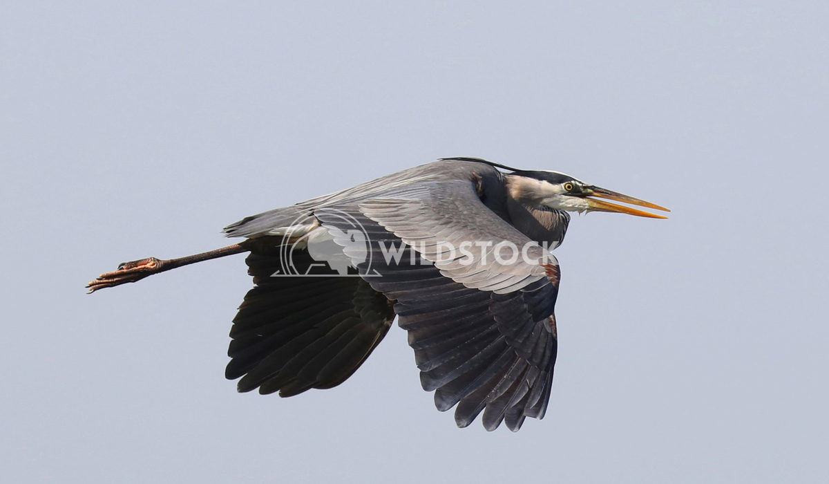 Heron in flight 1 Jane Hewitt Heron in flight