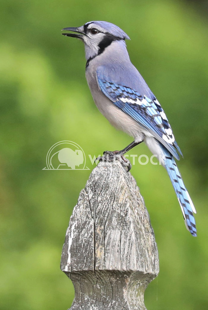 Bluejay Jane Hewitt Bluejay on fence post