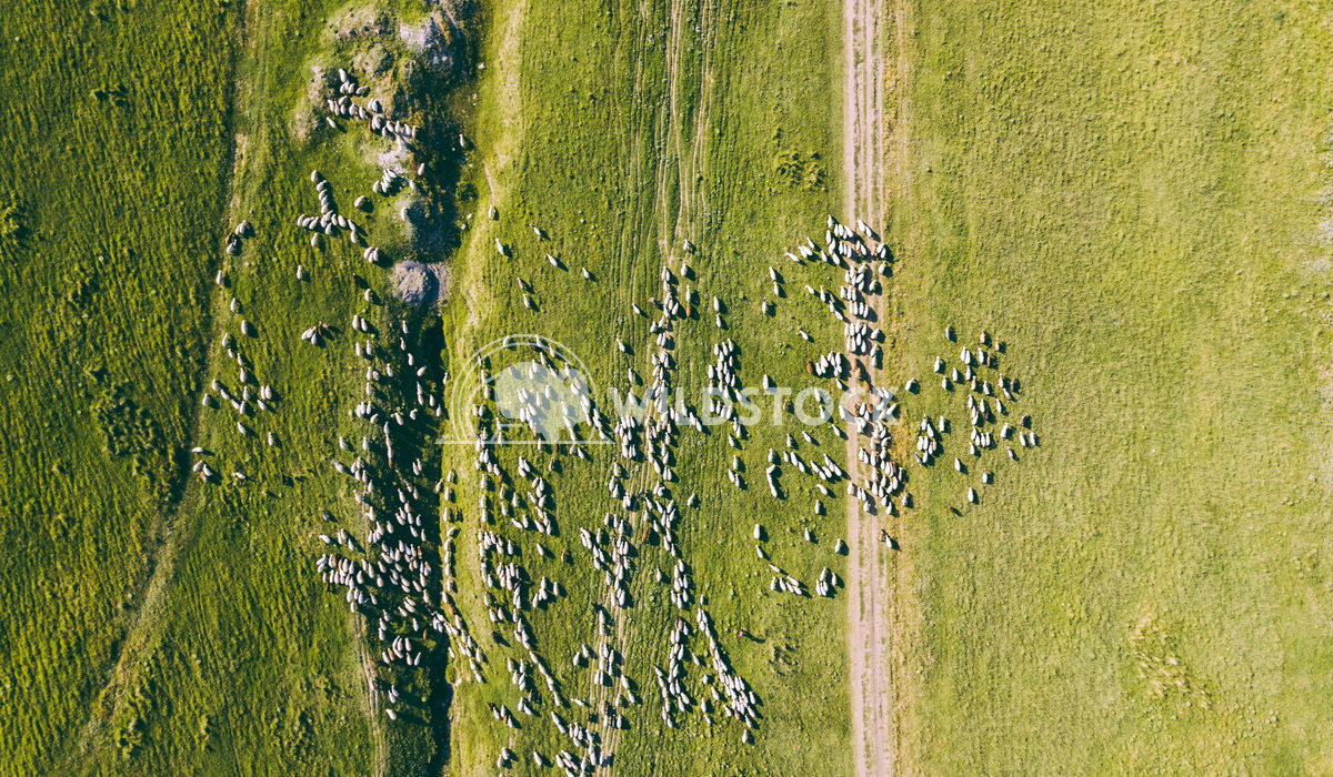 Aerial Drone View Of Sheep Herd Feeding On Grass Radu Bercan Aerial Drone View Of Sheep Herd Feeding On Grass