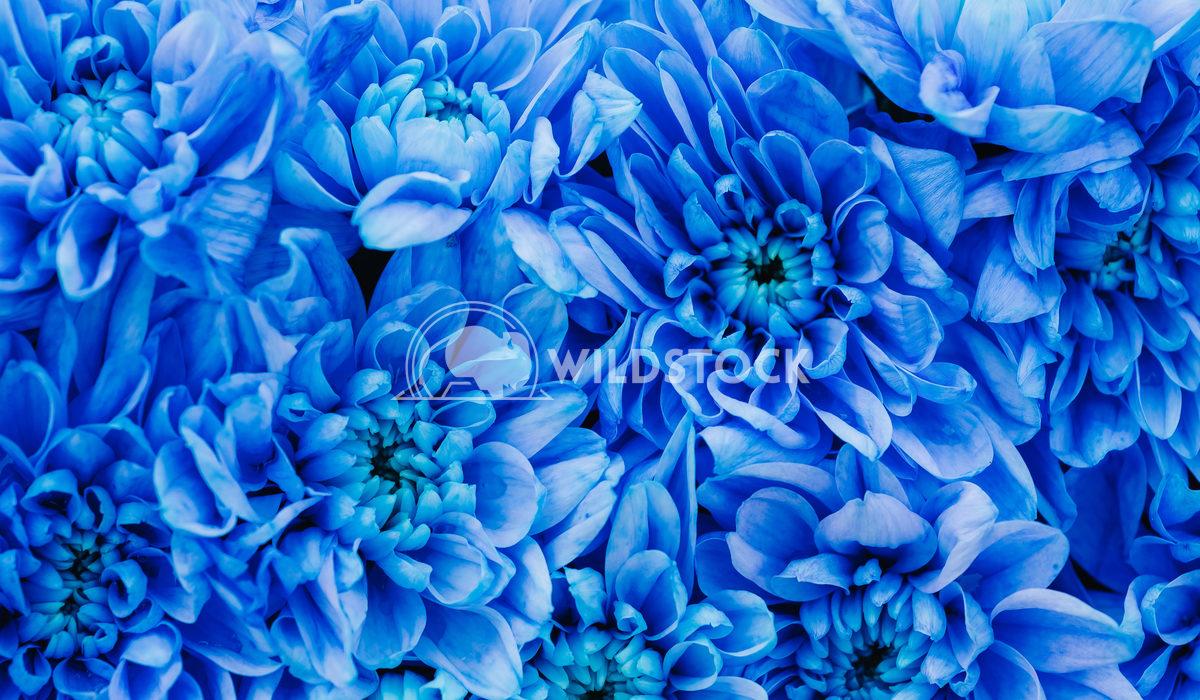 Closeup Photo Of Dahlia Blue Flowers Radu Bercan Closeup Photo Of Dahlia Blue Flowers
