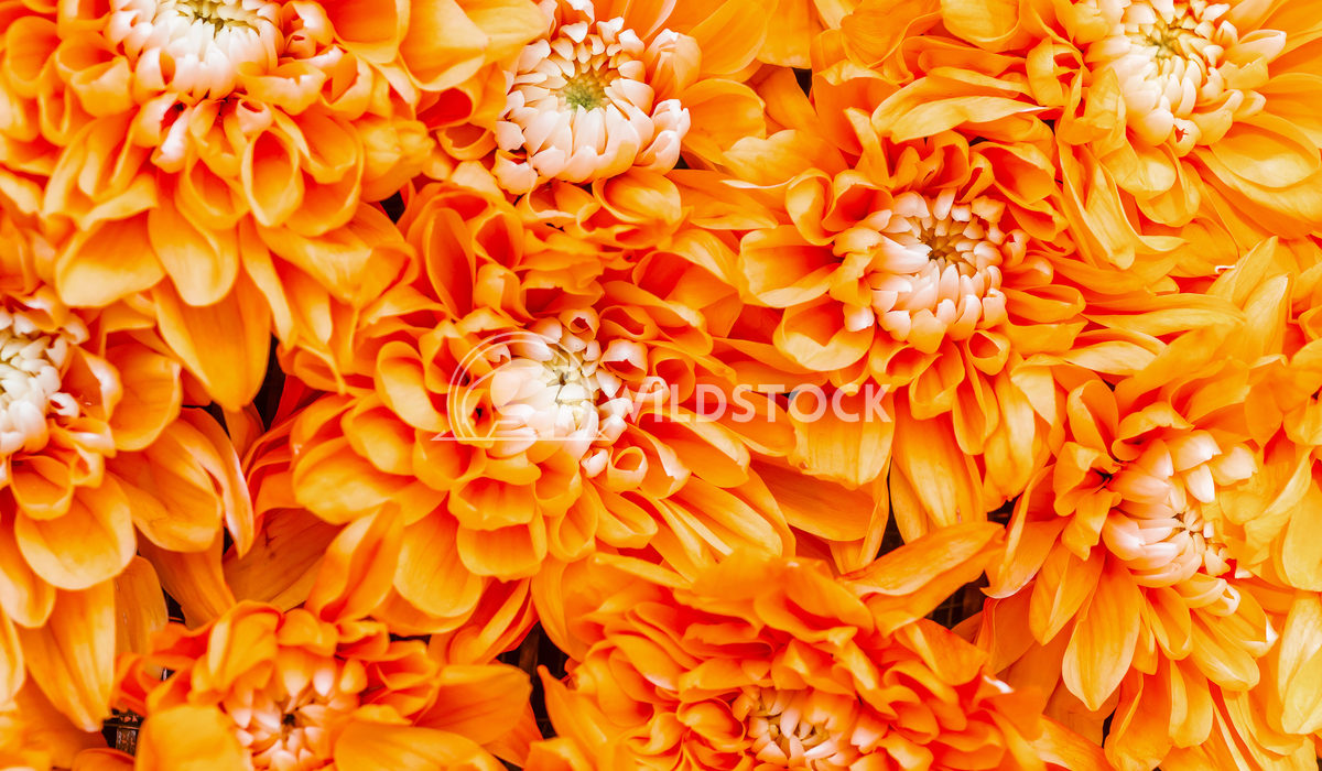 Closeup Photo Of Dahlia Orange Flowers Radu Bercan Closeup Photo Of Dahlia Orange Flowers