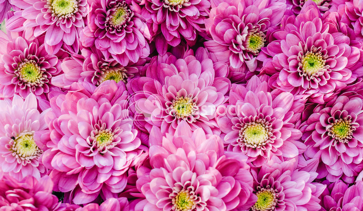 Closeup Photo Of Dahlia Pink Flowers Radu Bercan Closeup Photo Of Dahlia Pink Flowers