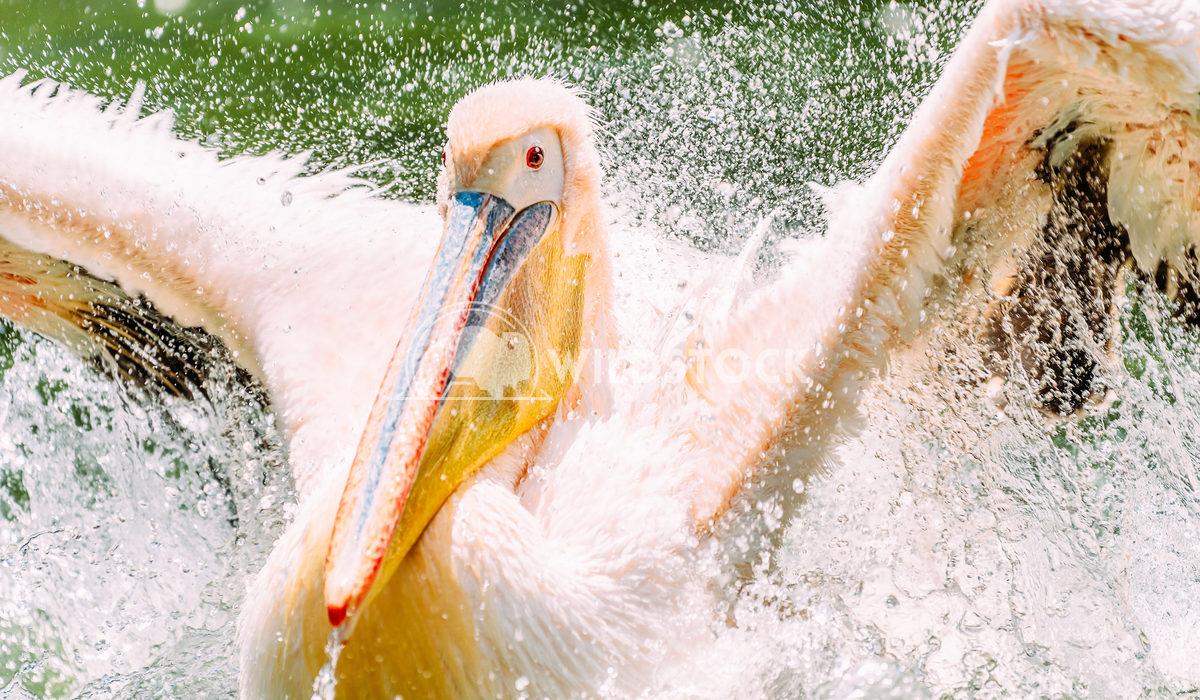White Pelican Bird In Wilderness Delta Water Radu Bercan White Pelican Bird In Wilderness Delta Water