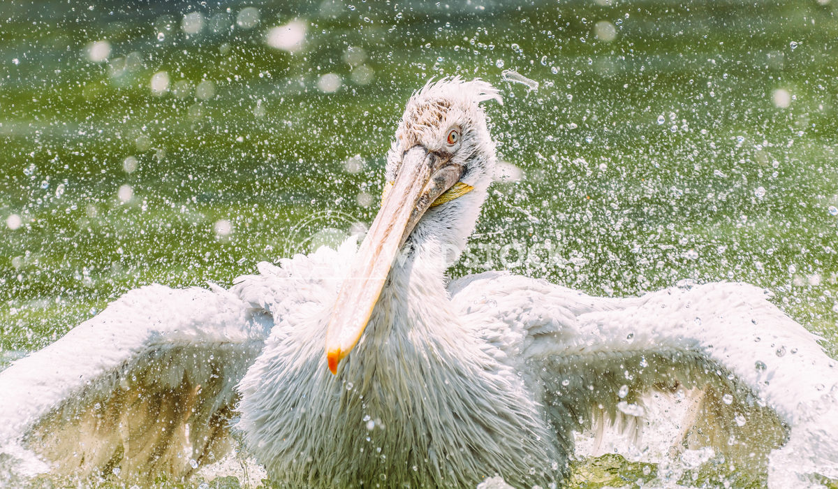 White Pelican Bird In Wilderness Delta Radu Bercan White Pelican Bird In Wilderness Delta Water