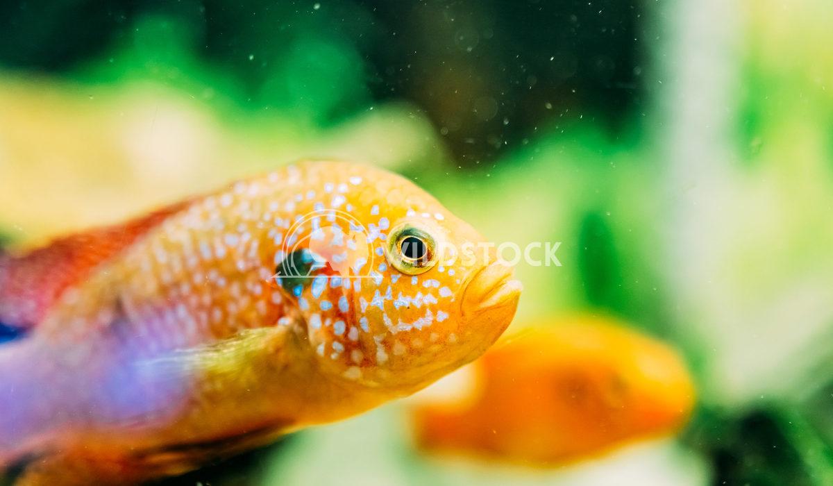 Hemichromis Lifalili Fish In Aquarium Radu Bercan Hemichromis Lifalili Fish In Aquarium