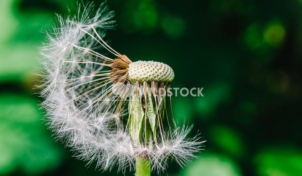 Macro Photo Of A Dandelion Radu Bercan Macro Photo Of A Dandelion