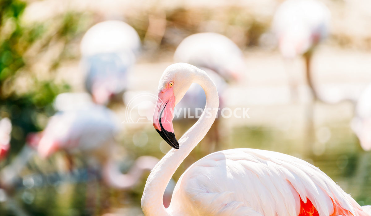 Pink Flamingo Birds In Wilderness Radu Bercan Pink Flamingo Bird Portrait In Wilderness
