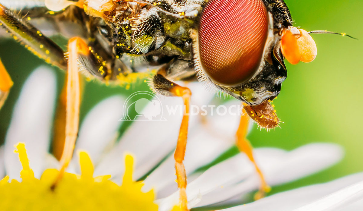 Closeup View Of A Small Fly Collecting Pollen On A Daisy Radu Bercan Closeup View Of A Small Fly Collecting Pollen On A