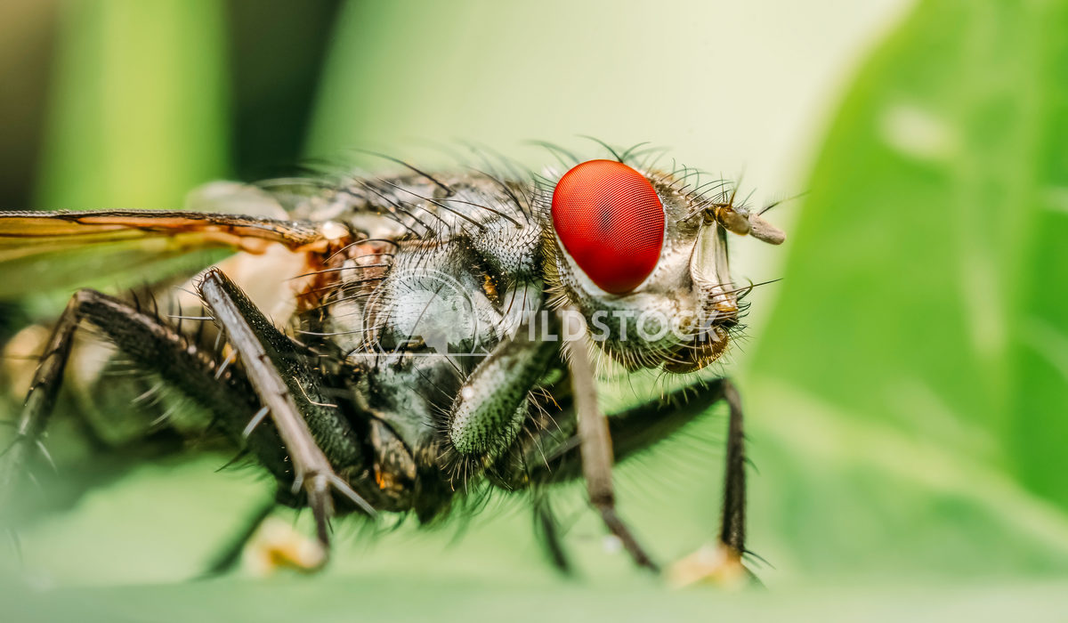 Macro Photo Profile Of A Common Fly With Red Eyes Radu Bercan Macro Photo Profile Of A Common Fly With Red Eyes
