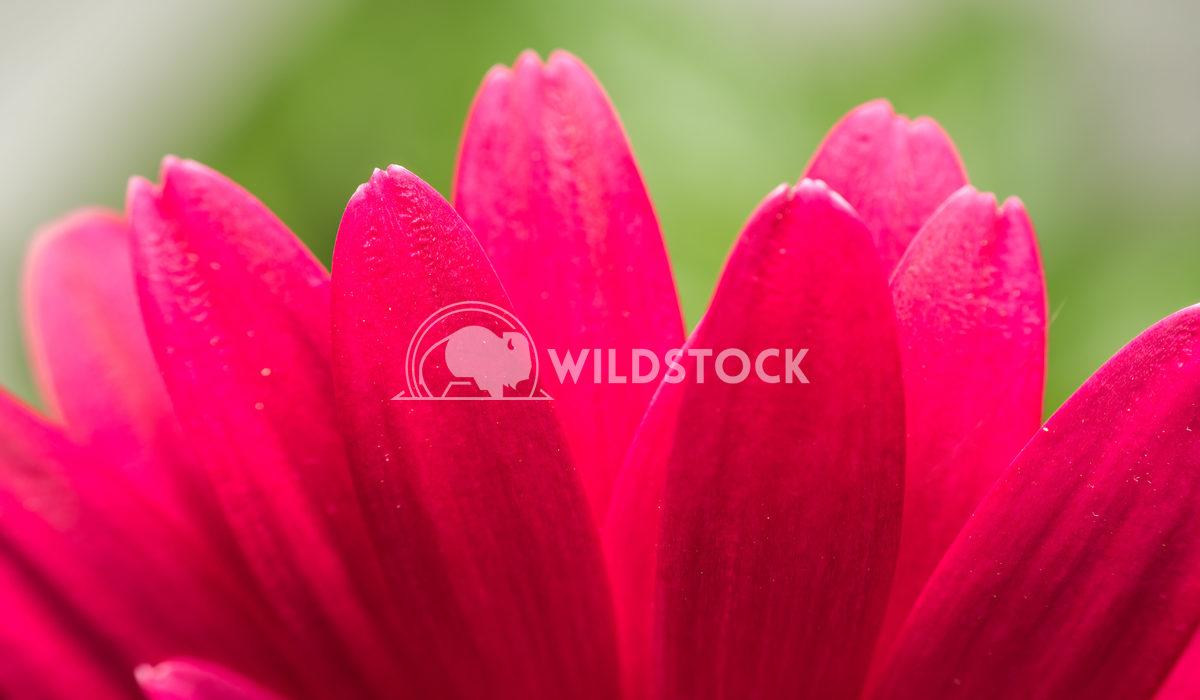 Pink Gerbera Flower Inside Macro Radu Bercan Pink Gerbera Flower Inside Macro
