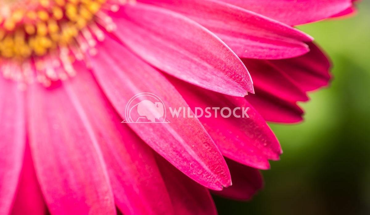 Pink Gerbera Flower Macro Radu Bercan Pink Gerbera Flower Inside Macro