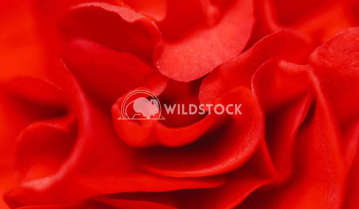 Beautiful Red Rose In Summer Radu Bercan Beautiful Red Rose In Summer