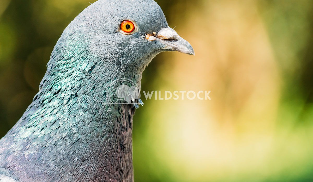 Pigeon Portrait Close Up Details Radu Bercan Pigeon Portrait Close Up Details