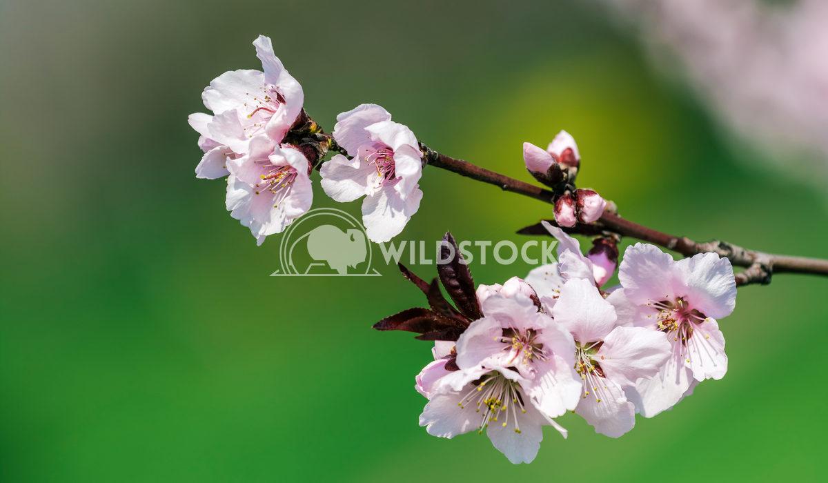 Plum Tree Pink Flowers Radu Bercan Plum Tree Pink Flowers Blooming In Spring