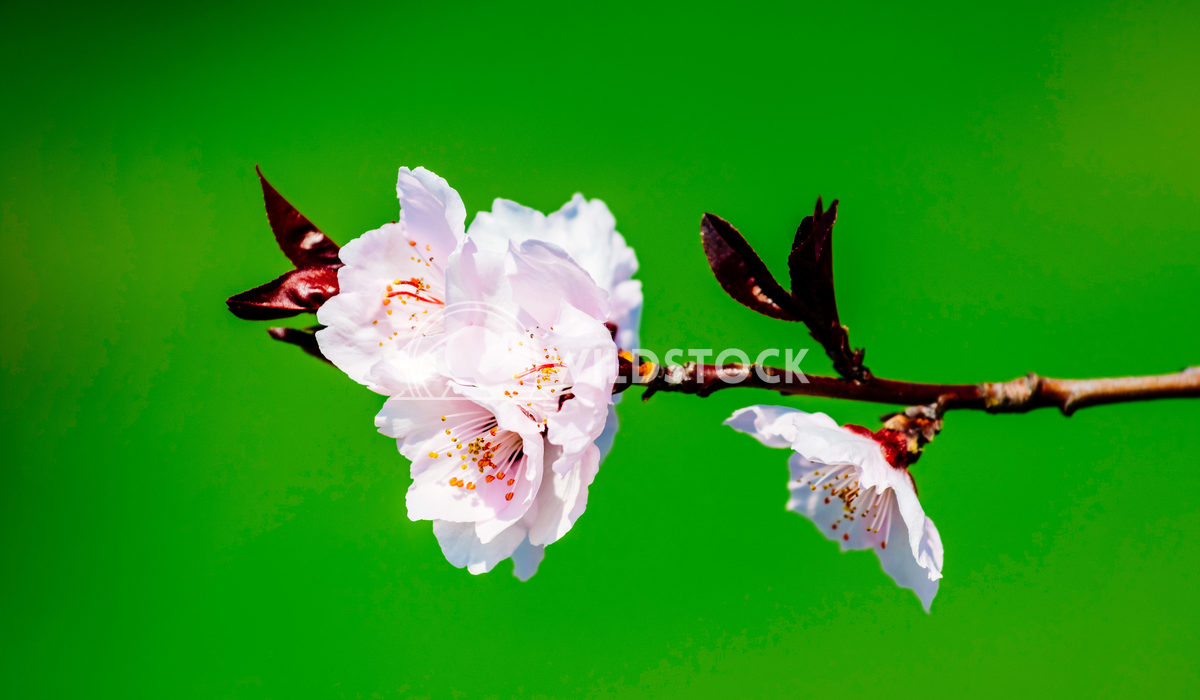 Plum Tree Pink Flowers Blossom In Spring Radu Bercan Plum Tree Pink Flowers Blooming In Spring