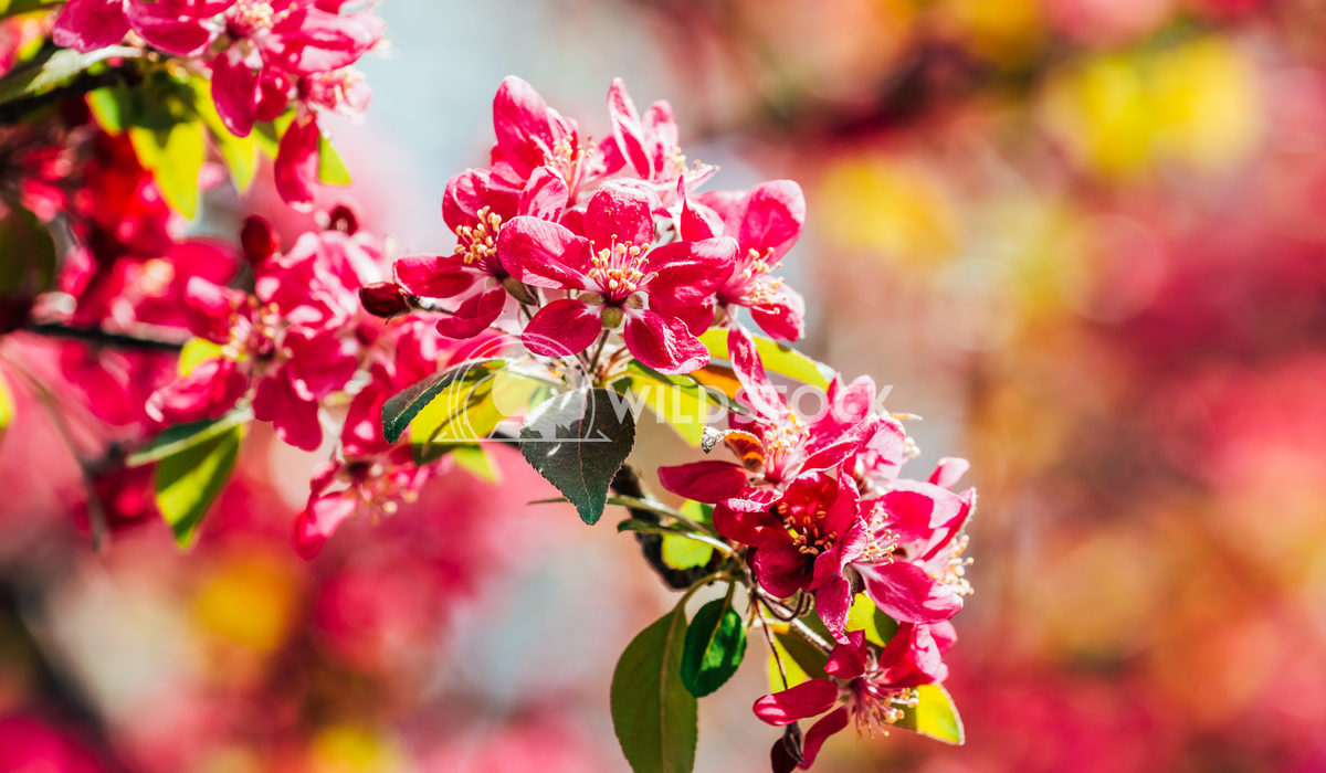 Pink Cherry Tree Flowers Close Up In Spring Radu Bercan Pink Cherry Tree Flowers Blossom Close Up In Spring