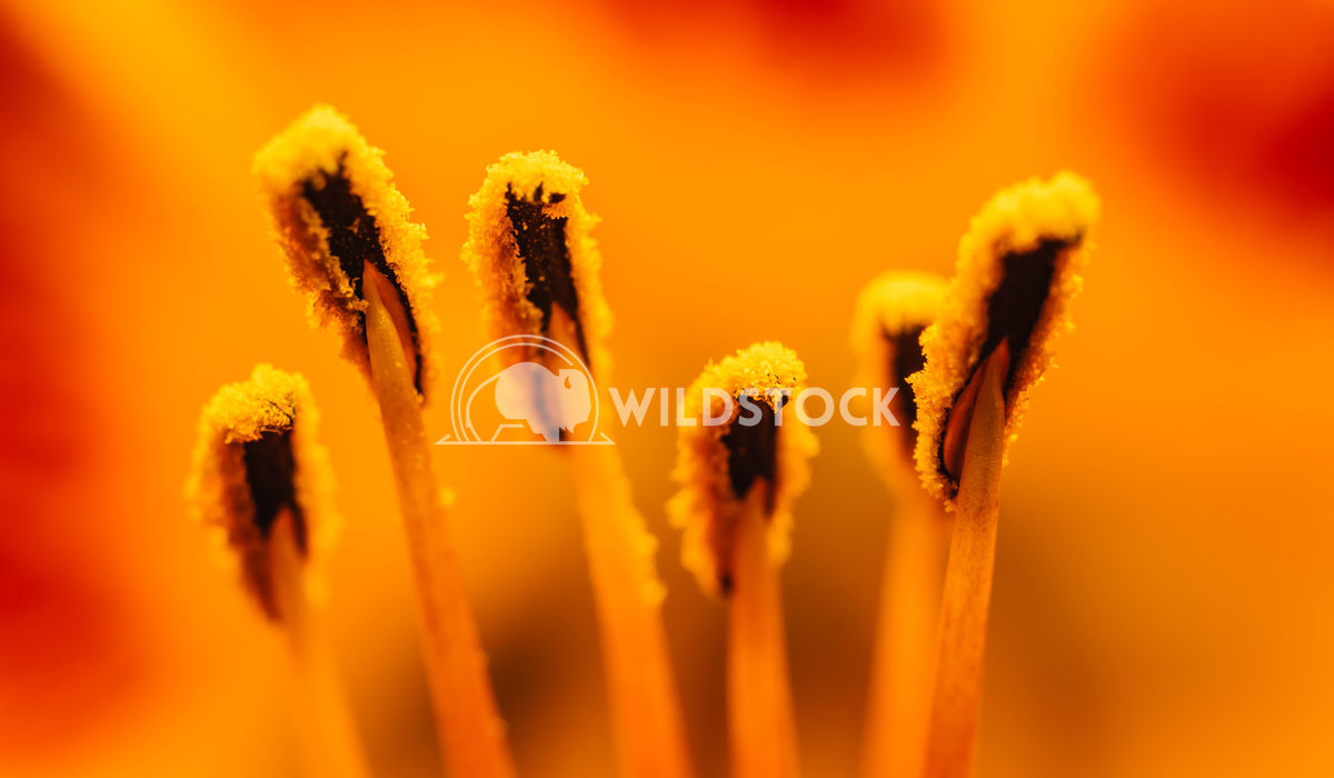 Orange Lilium Pistil Nectar Close Up Radu Bercan Orange Lilium Pistil Nectar Close Up