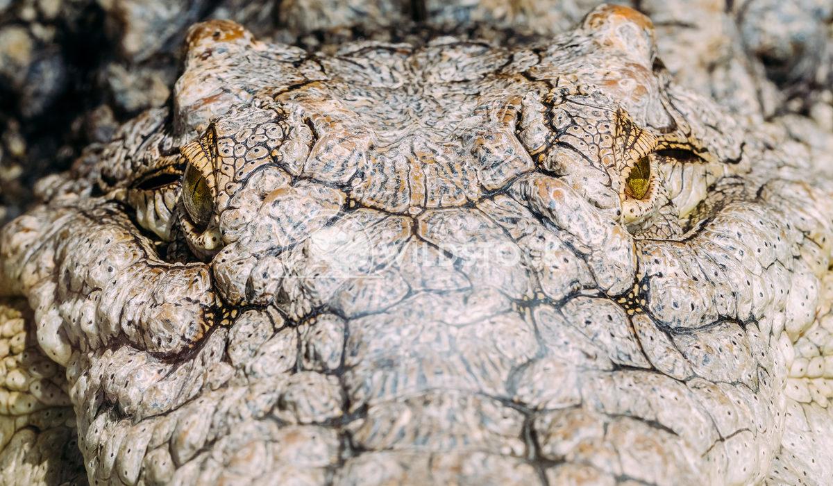 Crocodile head with focus on the eyes Radu Bercan Crocodile head with focus on the eyes
