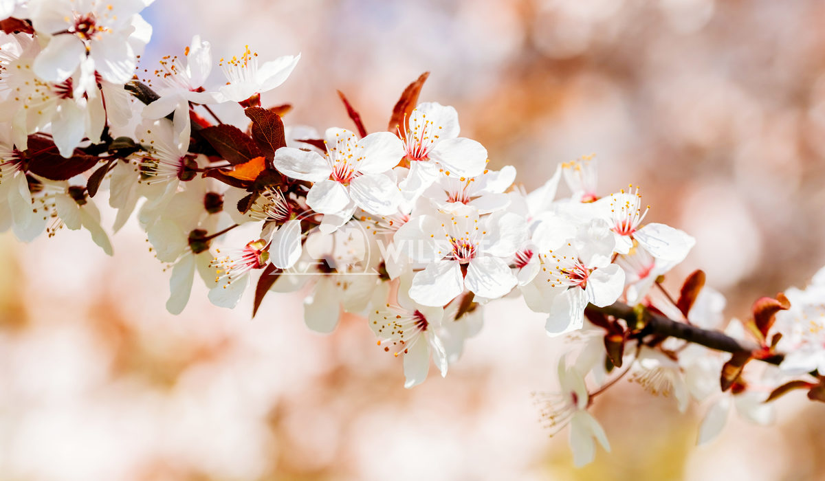 Closeup Of White Tree Spring Flowers In Sunny Day Radu Bercan White Tree Spring Flowers In Sunny Day