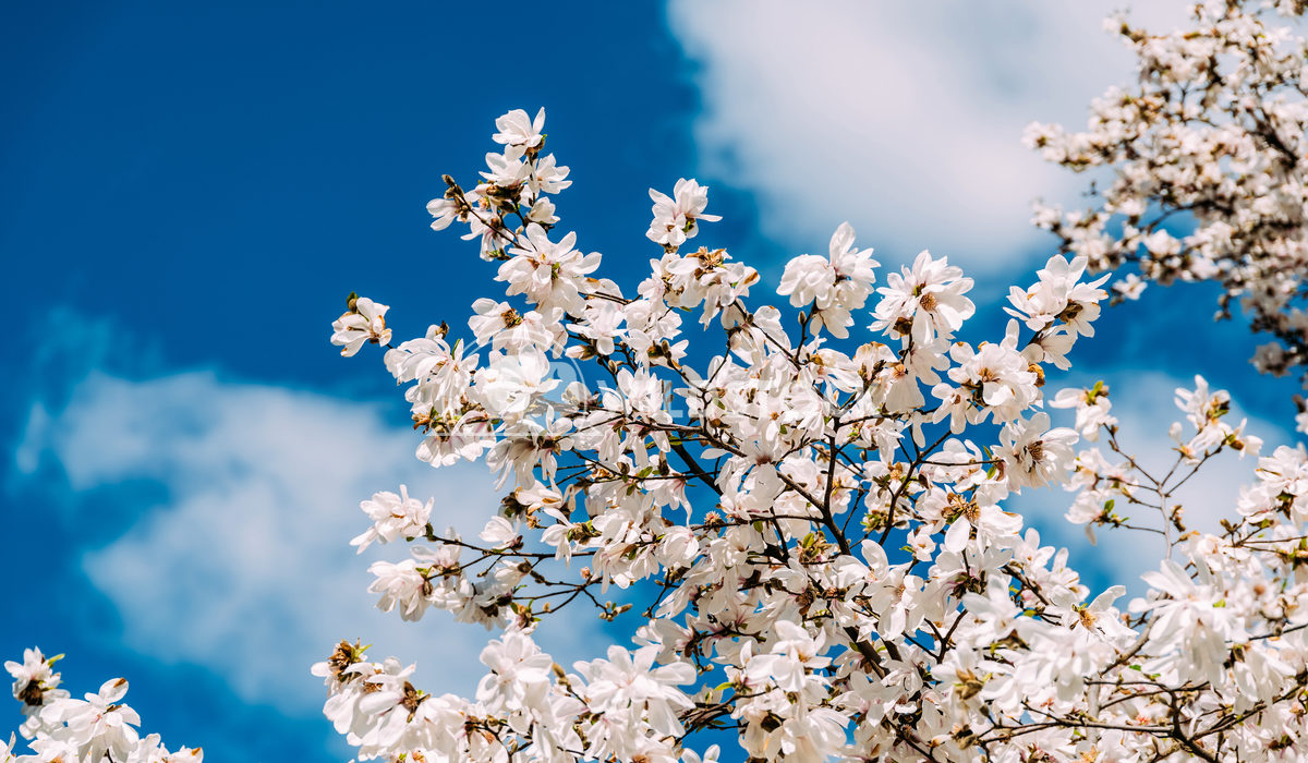 White Tree Flowers Radu Bercan White Tree Spring Flowers In Sunny Day