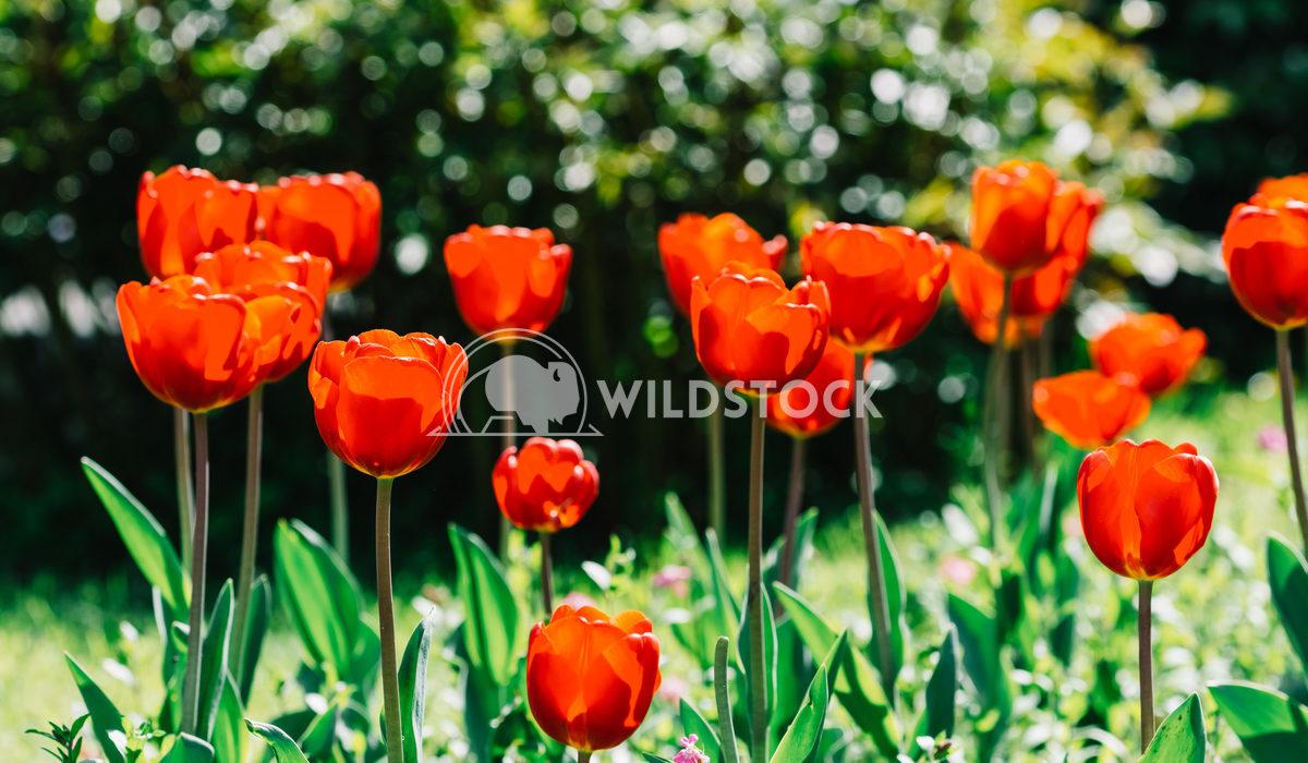 Red Tulip Garden In Springtime Radu Bercan Red Tulip Garden In Springtime