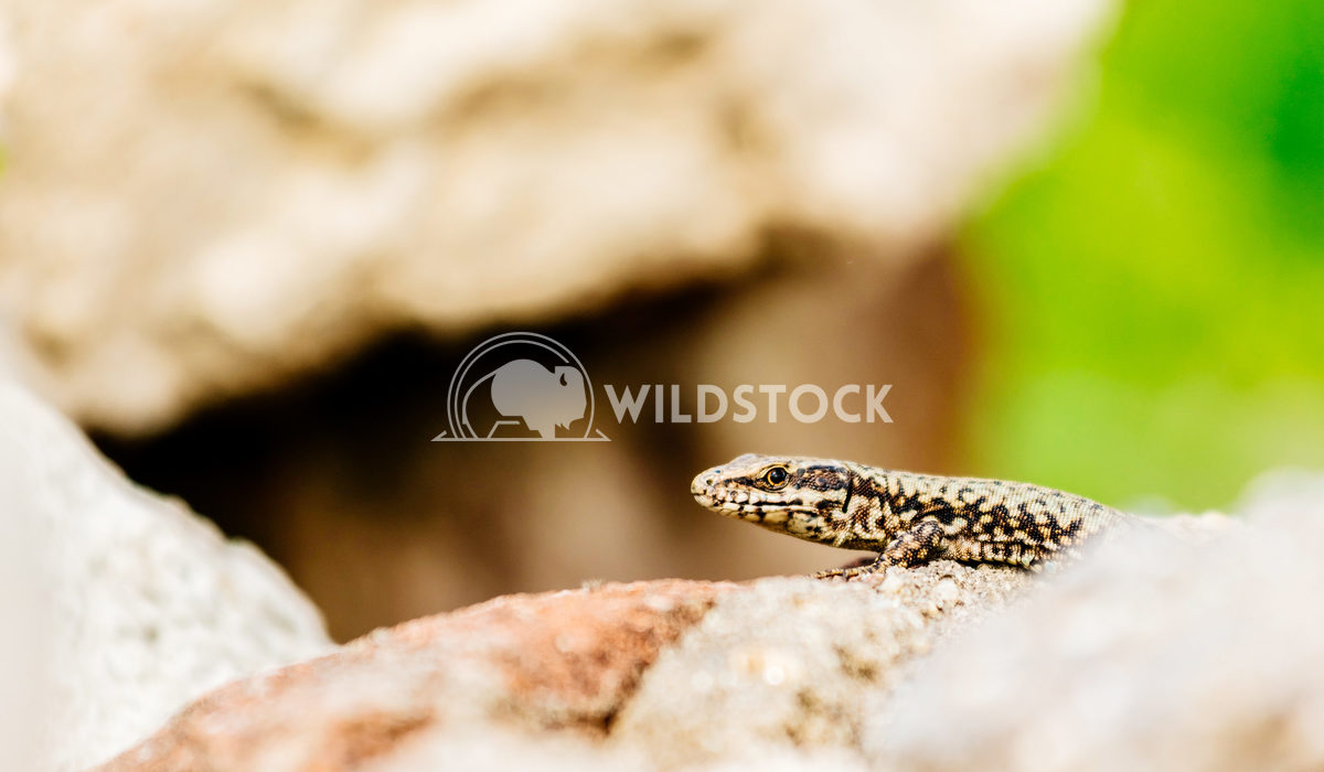 Small Rock Lizard Close Up Radu Bercan Small Rock Lizard Close Up