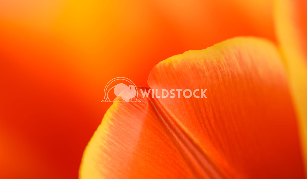 Red And Orange Tulip Flower Inside Close Up Radu Bercan Red And Orange Tulip Flower Inside Close Up