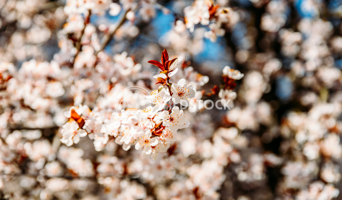 Tree Flowers Blooming In Spring Radu Bercan Tree Flowers Blooming In Spring