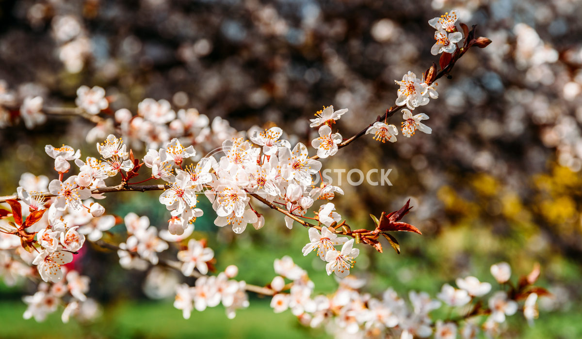 Tree Flowers Blooming Radu Bercan Tree Flowers Blooming In Spring