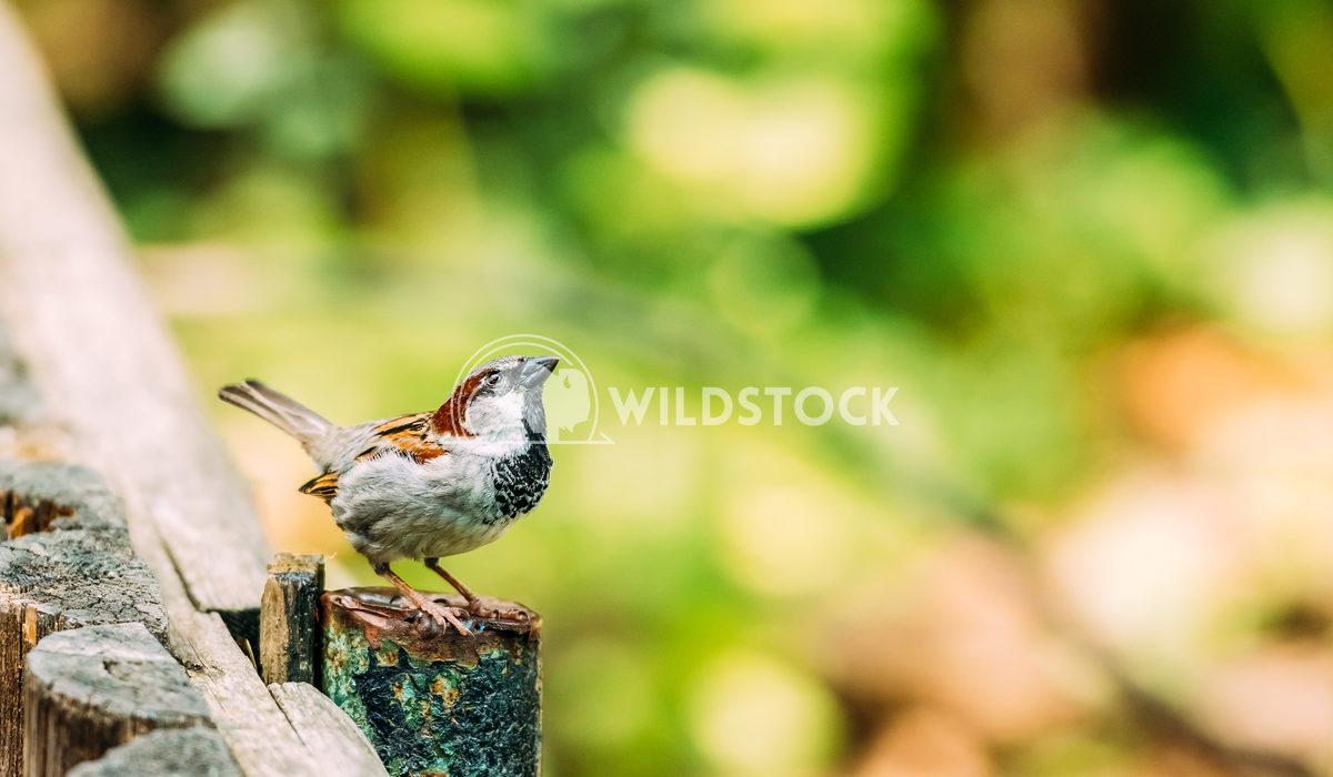 Tiny Sparrow On Wooden Fence Radu Bercan Tiny Sparrow On Wooden Fence