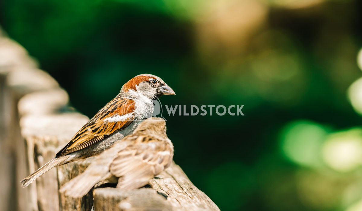 Tiny Sparrows On Wooden Fence Radu Bercan Tiny Sparrow On Wooden Fence