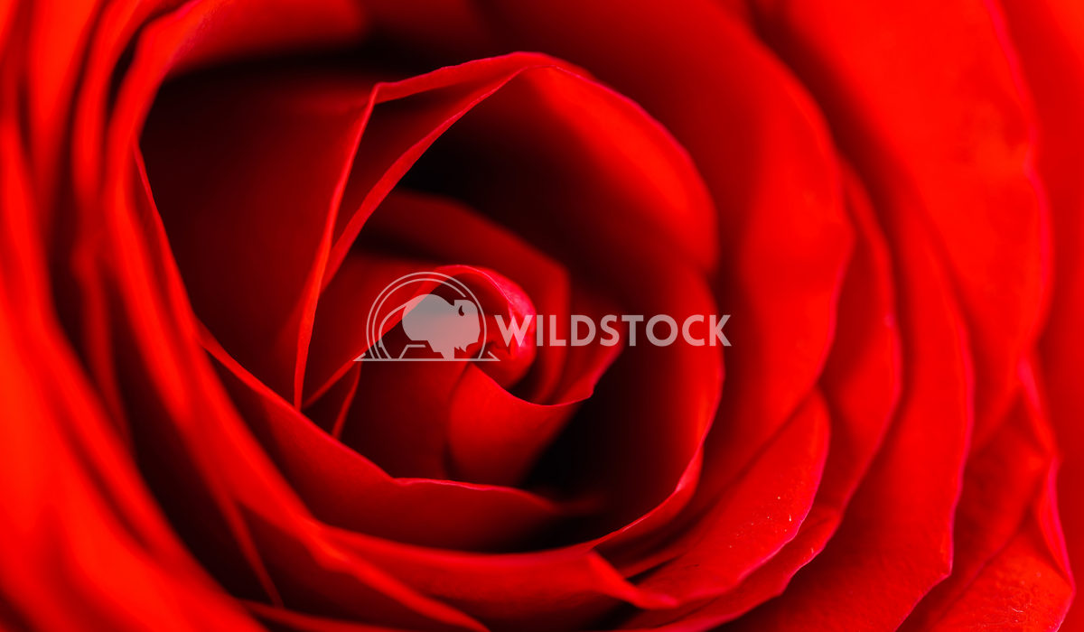 Red Rose Petals Radu Bercan Red Rose Petals