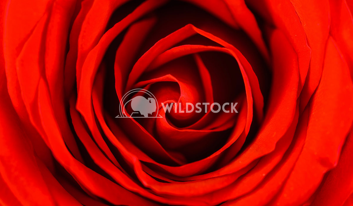 Red Rose Petals Close-Up Radu Bercan Red Rose Petals