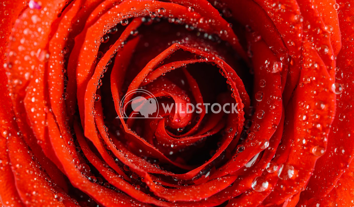 Wet Red Rose Close Up With Water Drops Radu Bercan Wet Red Rose Close Up With Water Drops