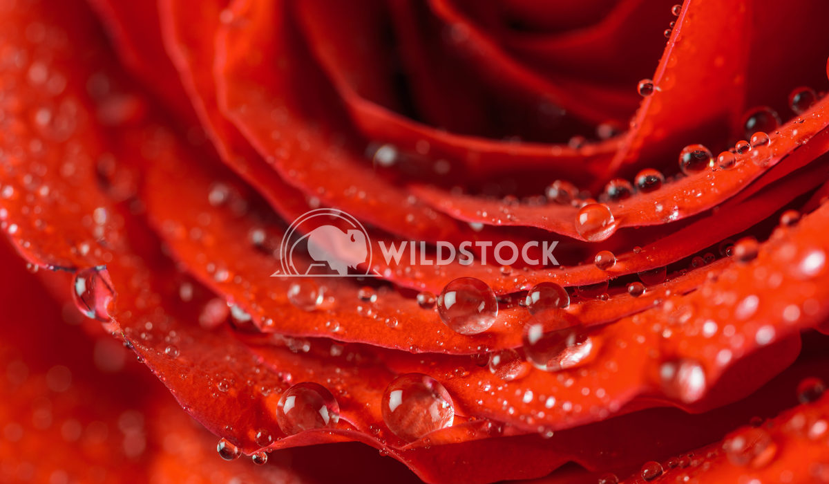 Wet Red Rose With Water Drops Radu Bercan Wet Red Rose Close Up With Water Drops