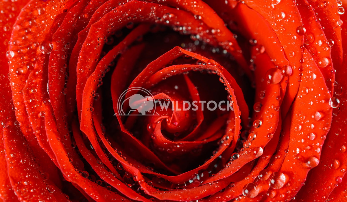 Wet Rose Close Up With Water Drops Radu Bercan Wet Red Rose Close Up With Water Drops
