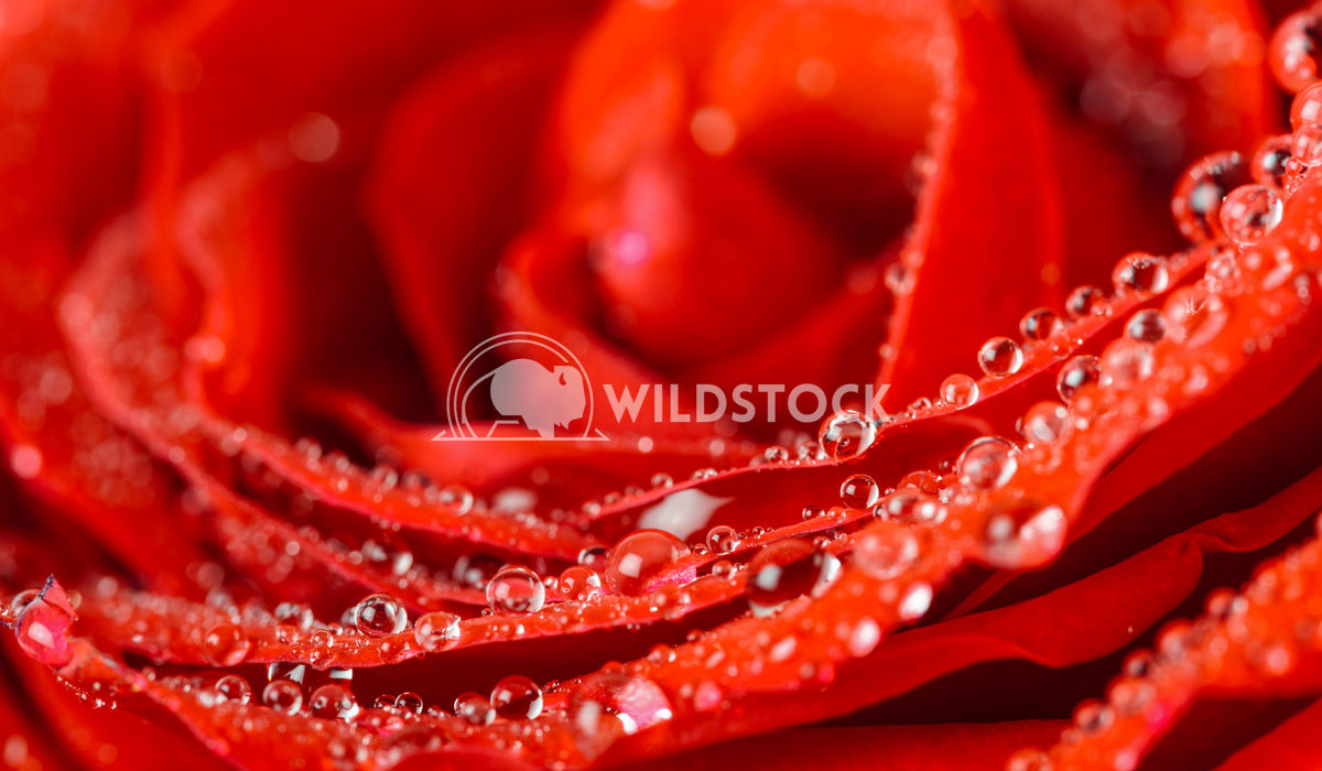 Wet Red Rose With Water Drops Close-Up Radu Bercan Wet Red Rose Close Up With Water Drops