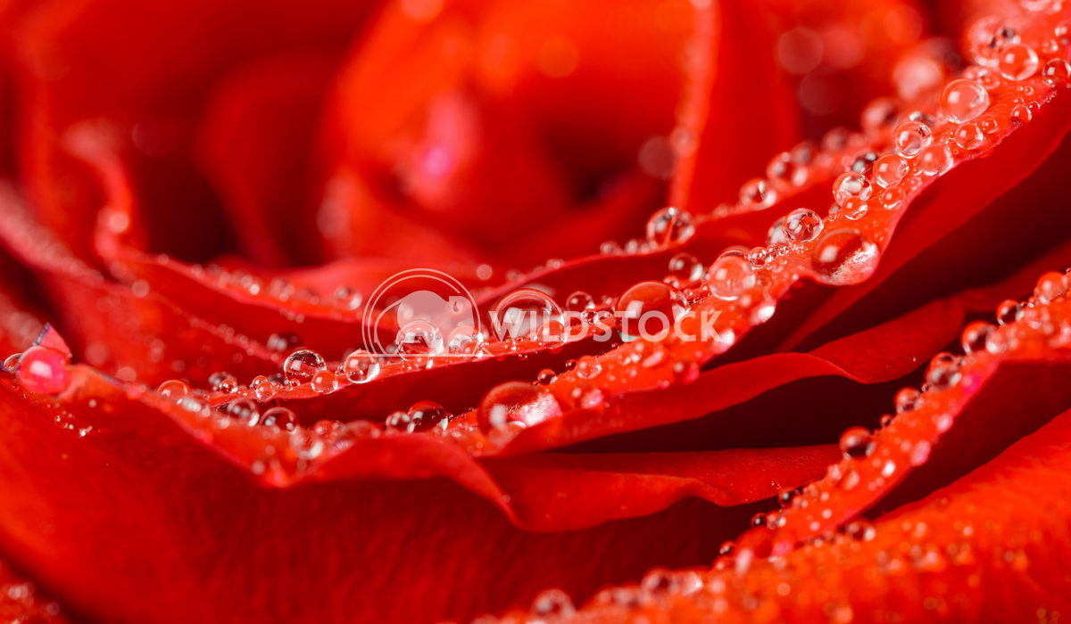 Beautiful Wet Red Rose Close Up With Water Drops Radu Bercan Wet Red Rose Close Up With Water Drops
