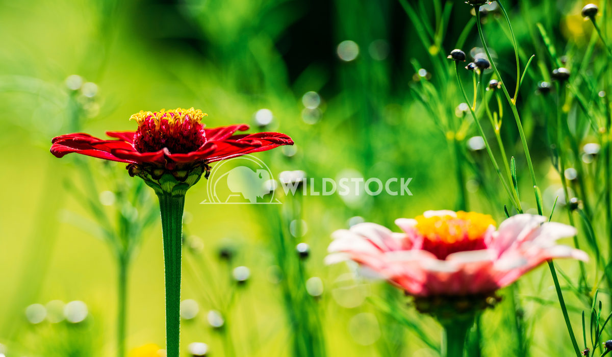 Summer Zinnia Elegans Flowers Radu Bercan Summer Zinnia Elegans Flowers