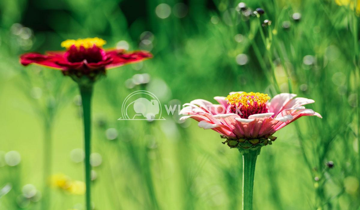 Zinnia Elegans Flowers Radu Bercan Summer Zinnia Elegans Flowers