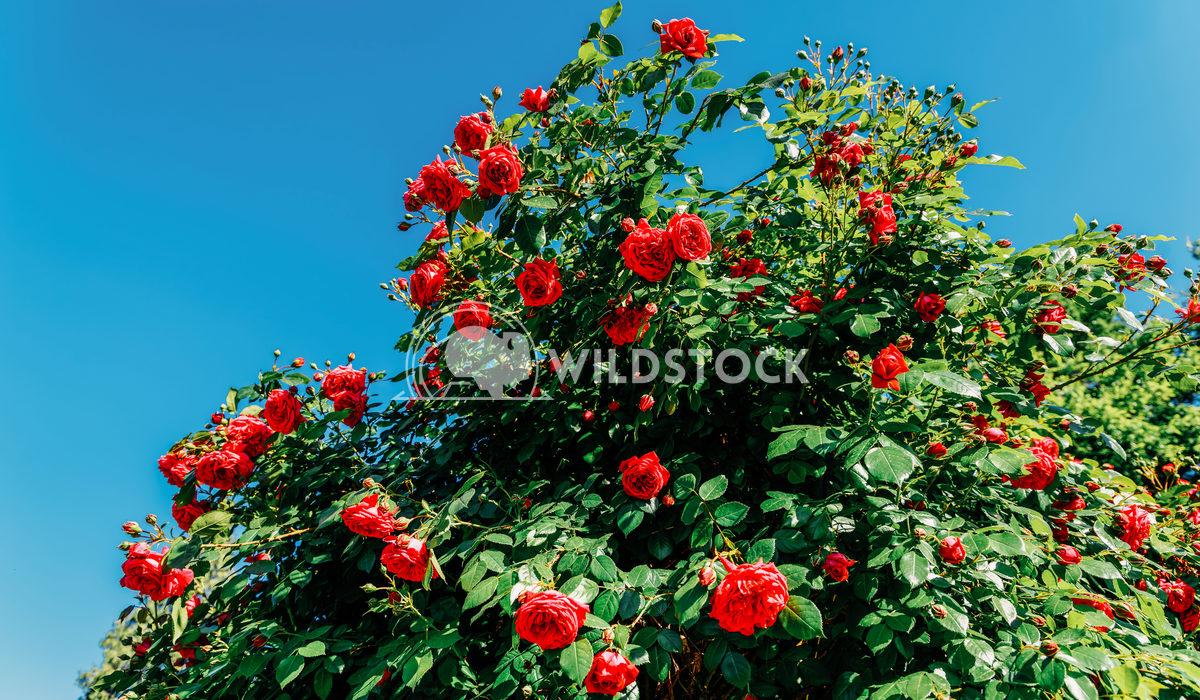 Beautiful Red Roses Garden In Summer Radu Bercan Beautiful Red Roses Garden In Summer