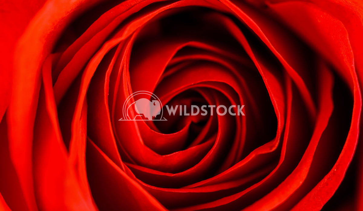 Red Rose Petals Macro Radu Bercan Red Rose Petals